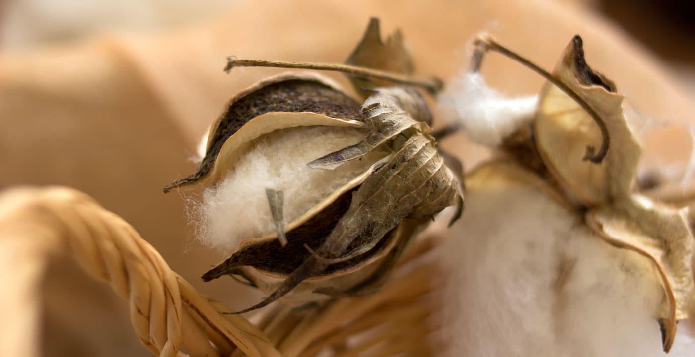 磐田で栽培された綿花