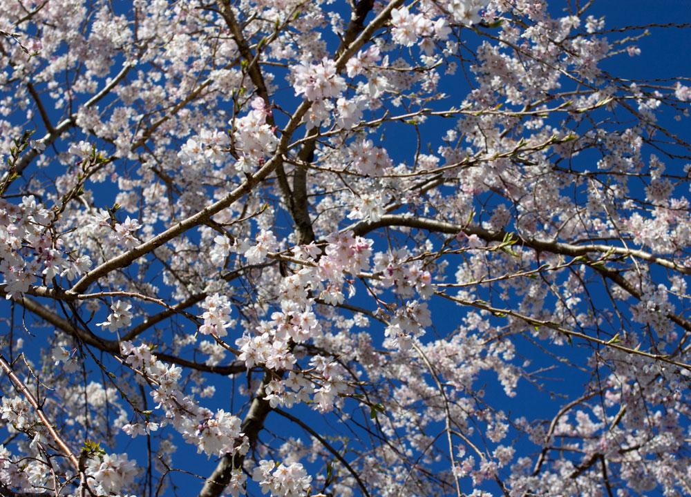 静岡市葵区の一本松公園でお花見を楽しむ。